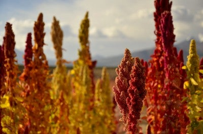 The best of 2015: Quinoa a super-food and super-solution to food security