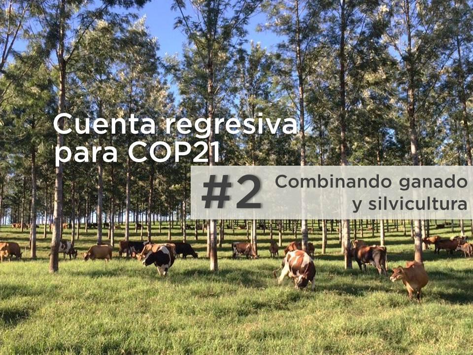 Combinar ganado y silvicultura: cinco beneficios de silvopastoreo