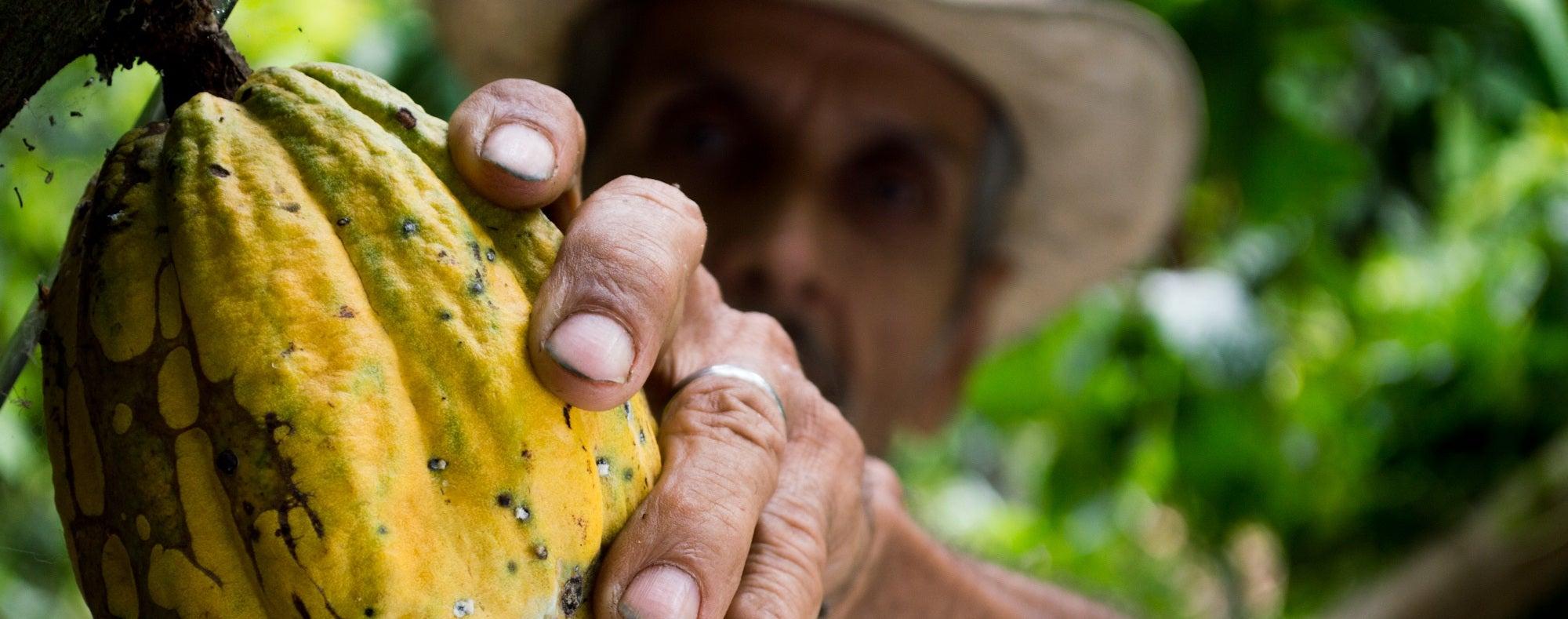 Agricultor, haba de cacao
