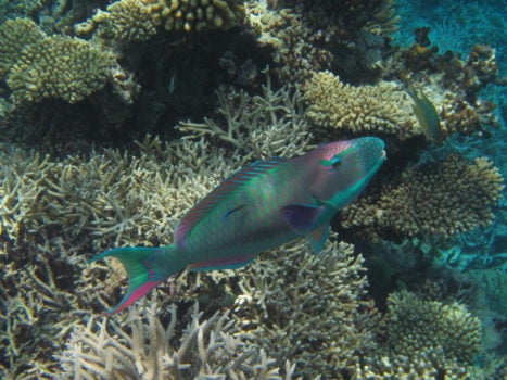 3 Reasons why you should stop eating Parrotfish