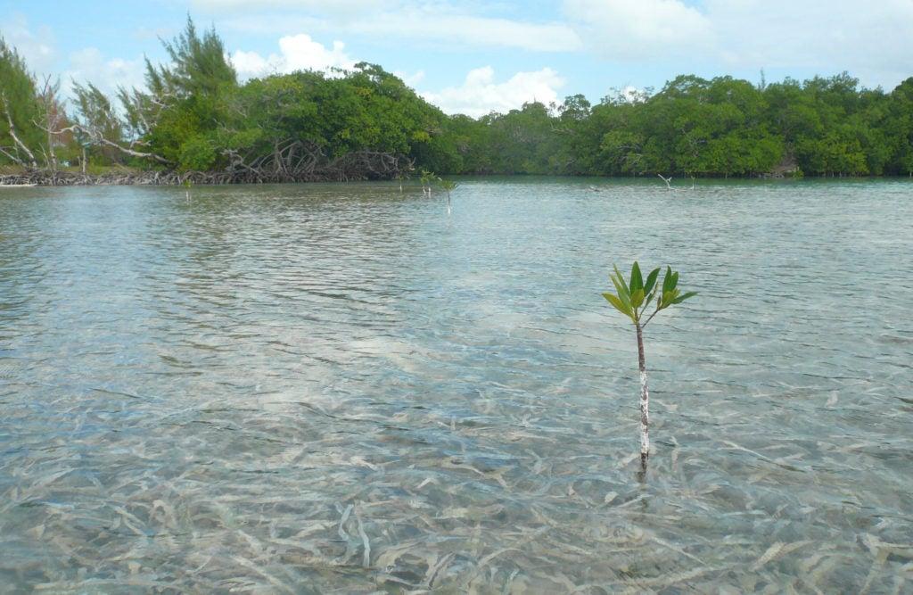 Volver a los manglares – Los humedales y el cambio climático