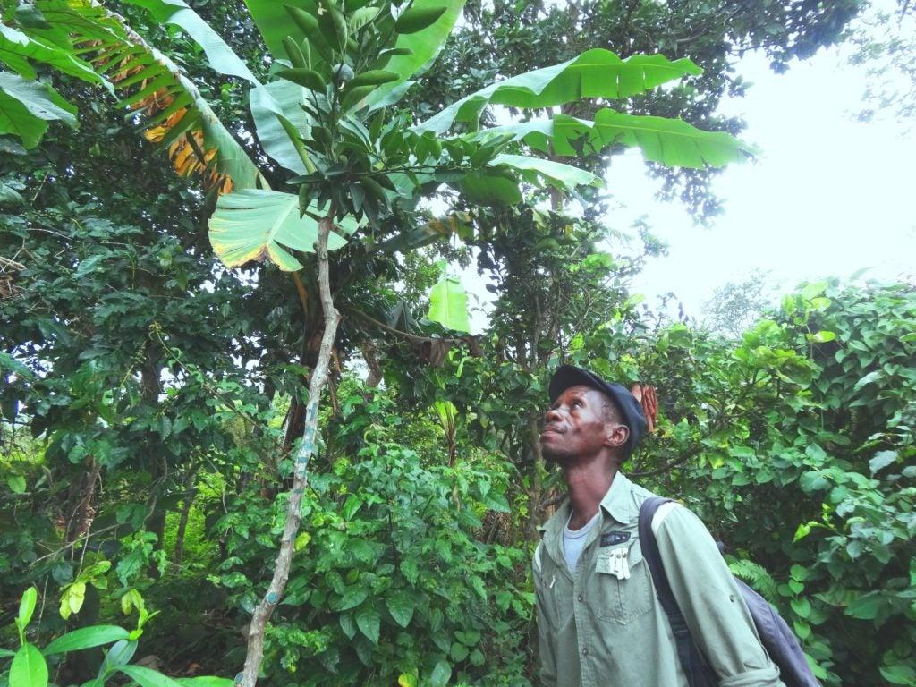 Agroforesteria y gestión sostenible de tierras en Haití