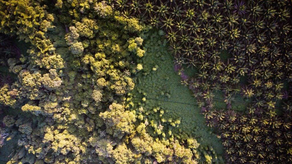 Plantaciones de Palma Africana Sostenible en ALC: ¿Es esto posible?