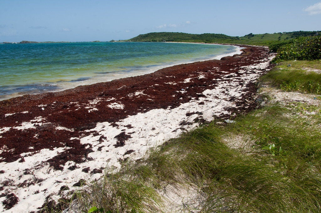 World Oceans Day: What's up with all the Sargassum?
